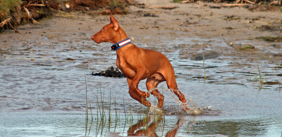 About The Pharaoh Hound